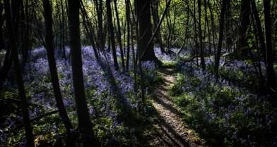 Bluebells - Craig Gorham