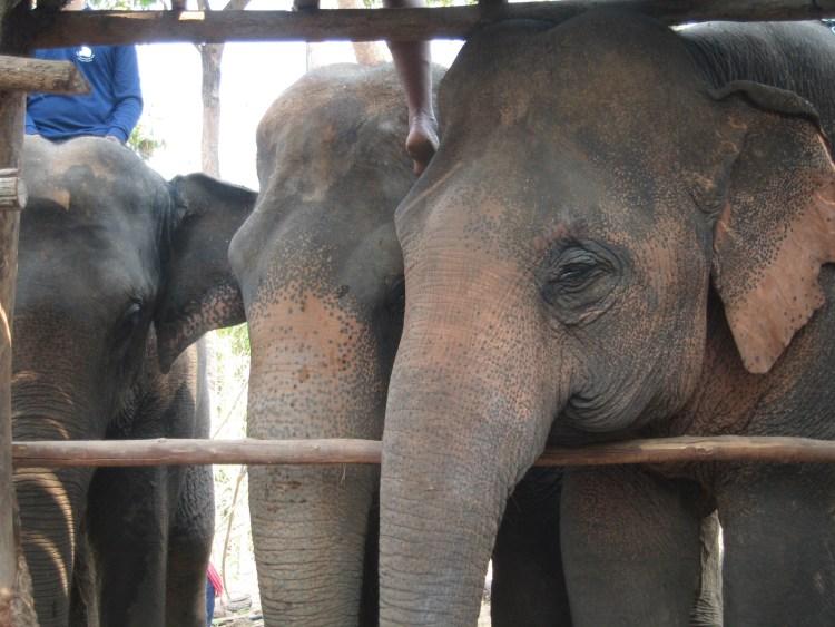 elefantes-tailandia