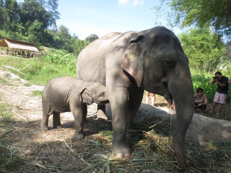 Nong Chiang, o bebê elefante e sua mãe