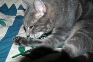 Bagheera the diabetic cat cleaning his paw