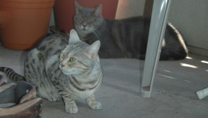 Bagheera the Diabetic Cat and Jacey on the Balcony