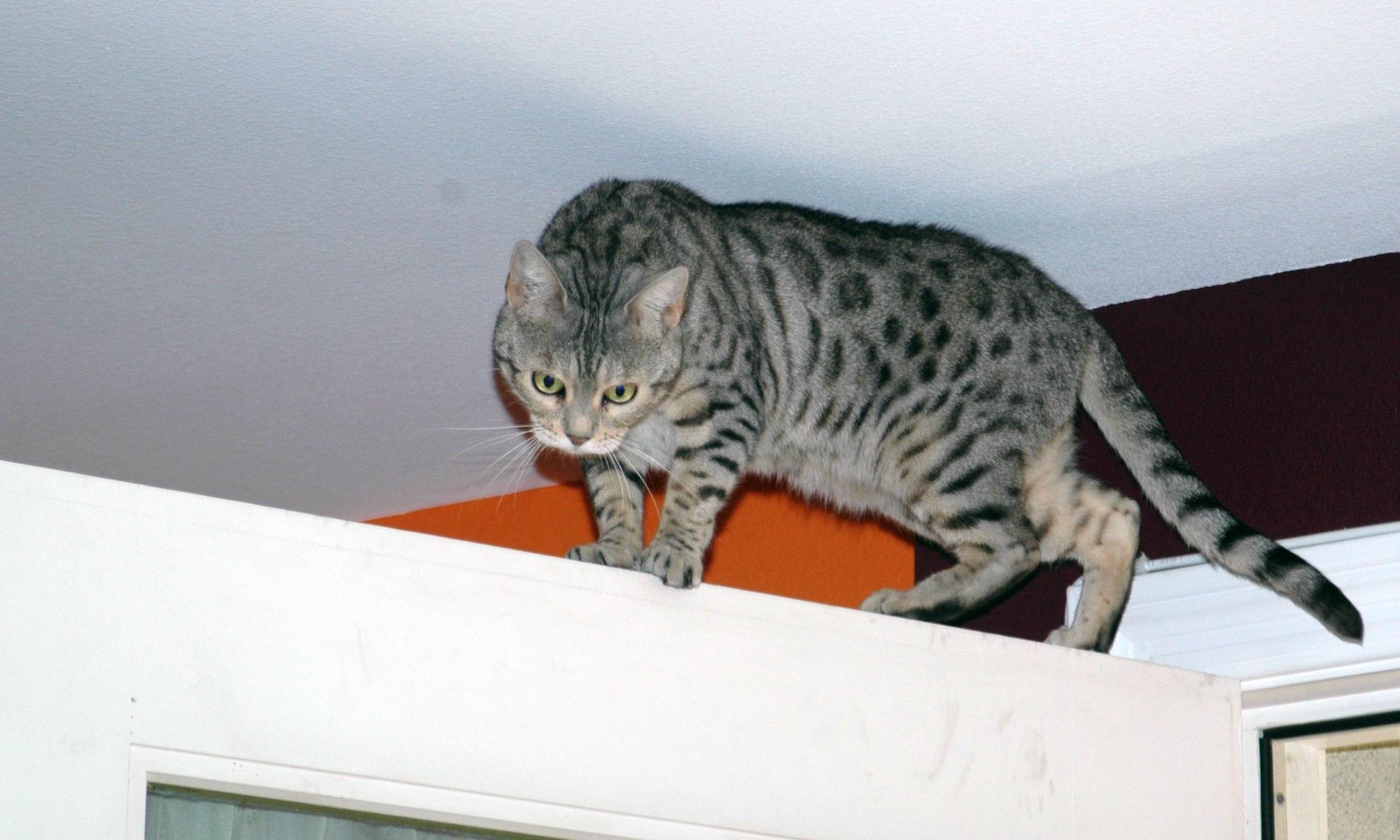 Bagheera the Diabetic Cat's Gymnast Furiend Jacey