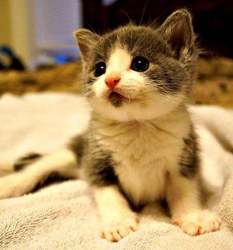 Bagheera the Diabetic Cat is Sad Jefferson is Gone