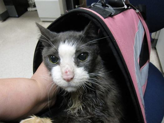 Diabetic Cat Bellmont