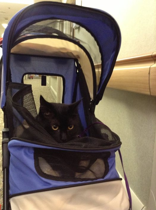 Pliny The Therapy Cat In His Stroller