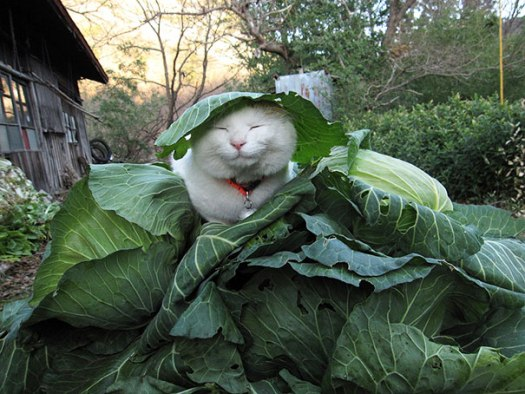 Happy Cat Shironeko In a Cabbage Patch
