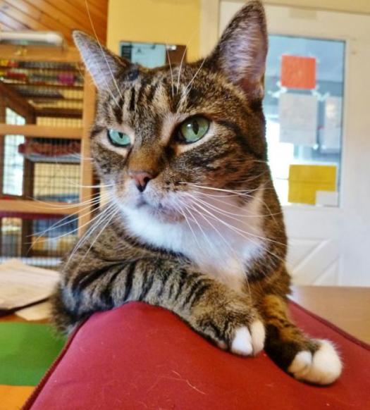 Senior Diabetic Cat Sissy Needs a Home