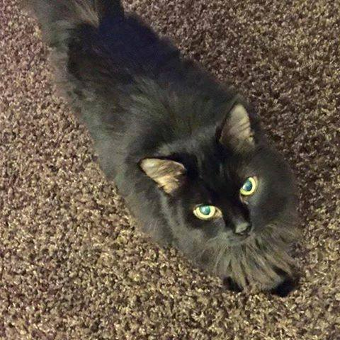 Diabetic Cat Maybelline Needs a Home