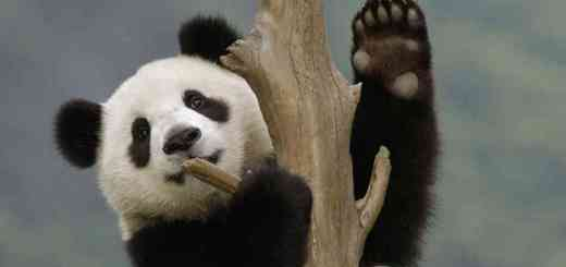 Panda Wave With Claw