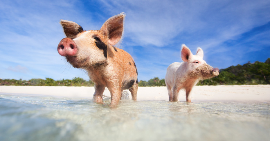 One Day Bahamas Cruise Swimming pigs in the Bahamas. The Exuma Pigs which live at Pig Beach on Big Major Cay, Staniel Cay Bahamas. Day trips to Bahamas from Miami depart throughout the year.
