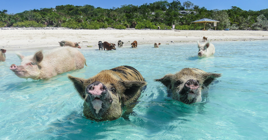 Nassau Swimming Pigs to The Exuma Pigs Tour Bahamas from Staniel Cay with Bahamas Air Tours who fly from Florida to Bahamas by plane. The Bahamas Flights will take you uon the swimming with pigs bahamas excursion