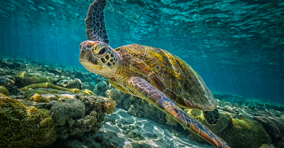Bahamas Snorkeling locations; Swim with turtles in the Abacos on a Bahamas Day Trip to Green Turtle Cay with Bahamas Air Tours.