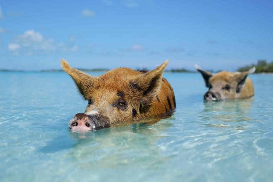 Exuma Pigs Bahamas at Staniel Cay. Visit the famous Staniel Cay Pigs (Swimming Pigs) on a Bahamas Day Trip with Bahamas Air Tours
