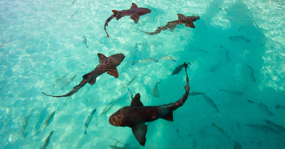 Day trip to Bahamas Staniel Cay and visit the unique Nurse sharks at Compass Cay in the Exumas. Bahamas Air Tours offers the worlds first Bahamas Island Hopping Tours and Bahamas Day Trips with private air charter flights from Florida to Bahamas.