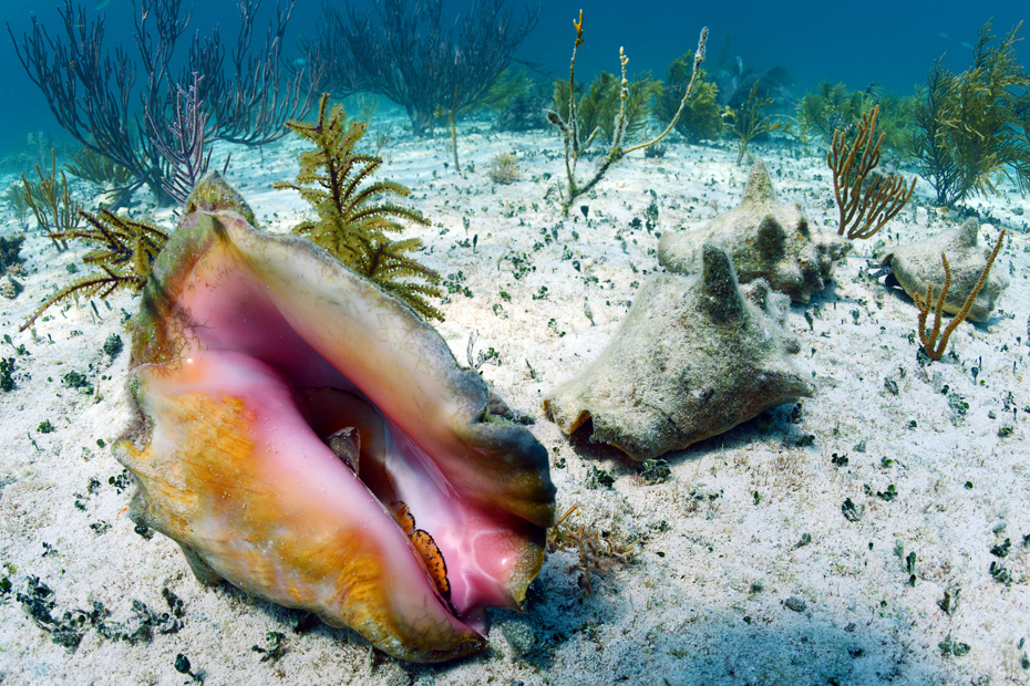 conch shell in an underwater seascape in the Bahamas