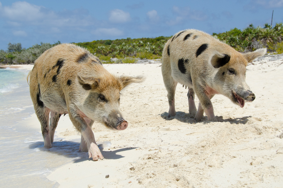 Wild pigs on Pig Beach Bahamas. Offering the best of Pig Island and the Bahamas Pigs on this exclusive Day Tour of the Bahamas day trip to Big Major Cay on a Pig Beach Excursion from Nassau.