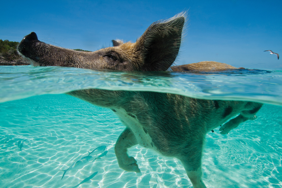 Discover Pig Beach Bahamas on a Bahamas Day Tour