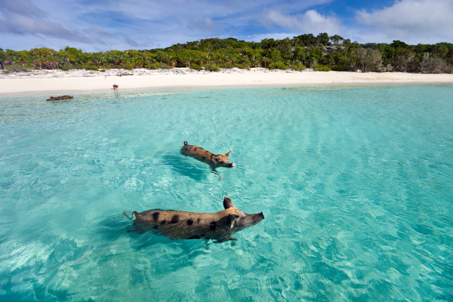 Swimming pigs of the Bahamas in the Out Islands of the Exuma. Come see the Bahamas Pigs in the Ocean. Exuma Pig Beach Island with Pigs is one of the most popular Bahamas vacation spots.