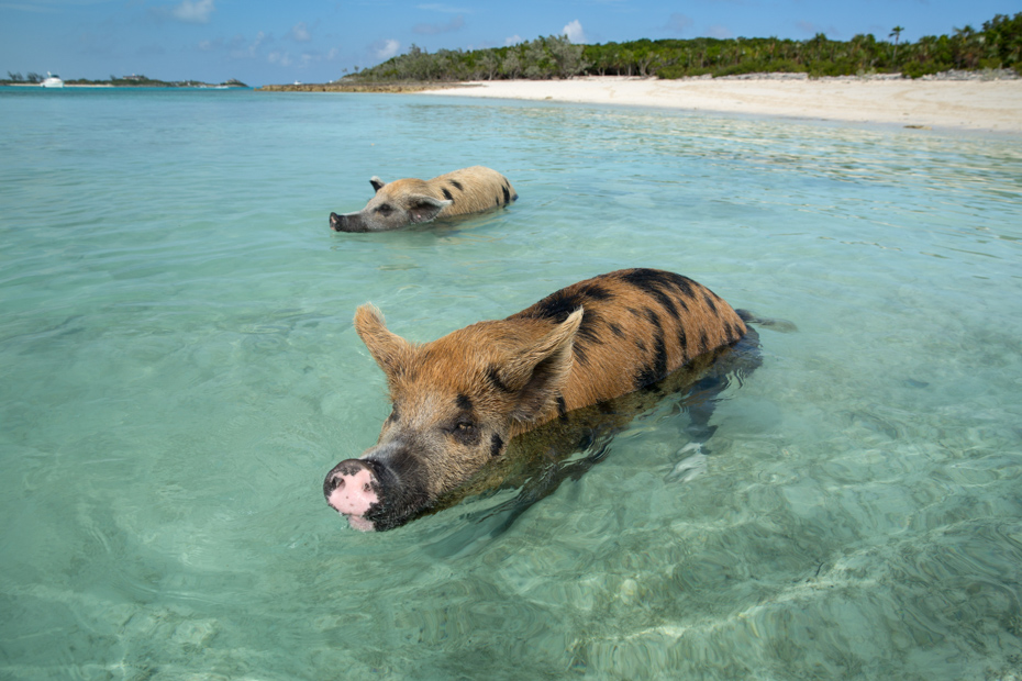 Swimming pigs in the sea at Exuma Pig Island. Come see the Bahamas Pigs on a Staniel Cay Day Tour