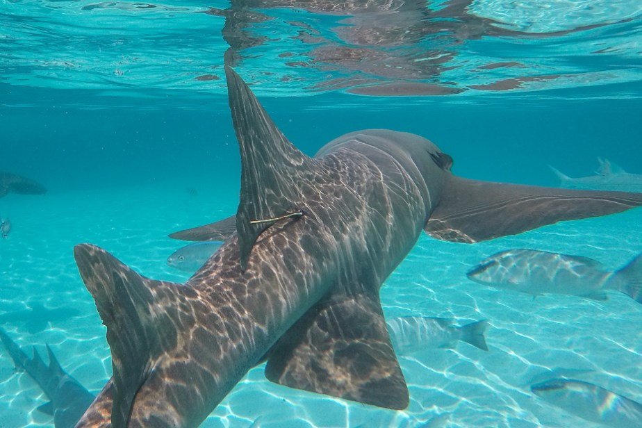 Compass Cay swim with Sharks in the Bahamas at Staniel Cay