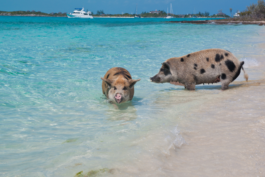 Pig Beach Bahamas at Staniel Cay is home to the famous Swimming Pigs Bahamas. Visit Pig Island on a Bahamas Day Tour by plane.