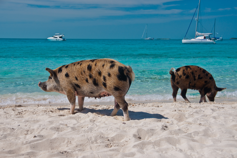 Pig Beach Bahamas on Big Major Cay Island in The Bahamas, lounging and walking on pig island close to Staniel Cay