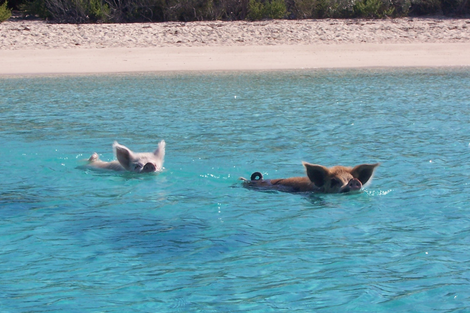 Swimming PIgs Bahamas Exuma at Pig Beach and Pig Island on a Staniel Cay Day Tour by plane from Nassau.