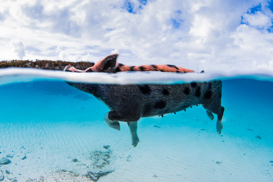 Swimming Pigs Bahamas Staniel Cay and Pig Beach. Pig Island is also known as Big Major Cay in the Exumas.