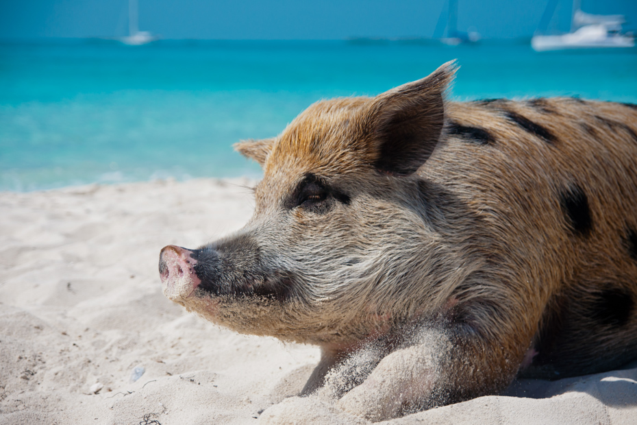 Things to do in Exuma Swimming Pigs at Pig Beach, Big Major Cay close to Stnaiel Cay. Take a Bahamas Day Tour from Nassau to the famous Exuma Pigs.