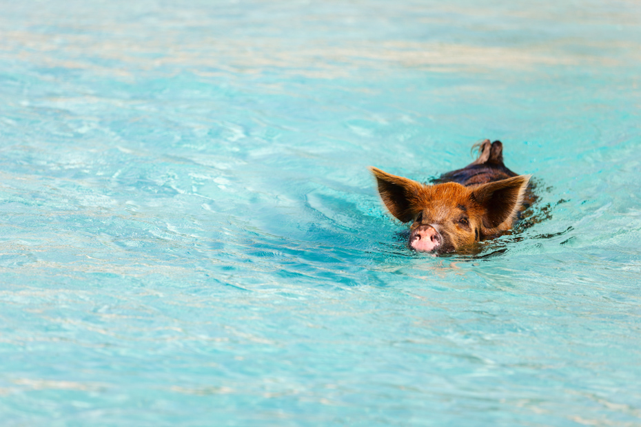 Check out the Bahamas swimming pigs beach today! Big Major Cay is the best place to see Bahamas Pigs.