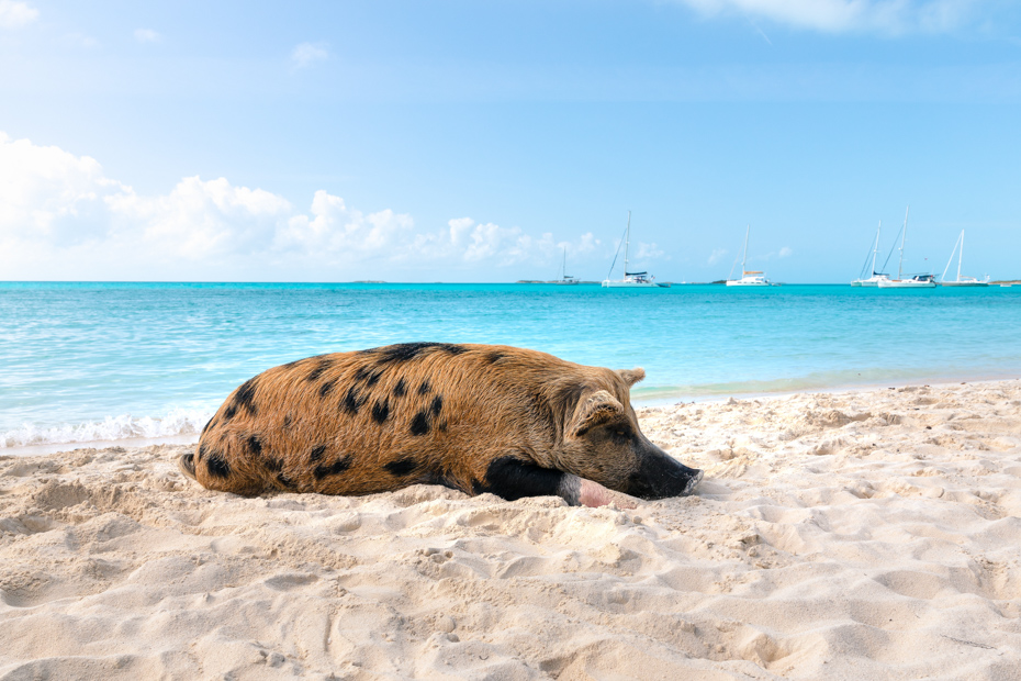 Exuma Pigs in the Bahamas attract large crowds to Big Major Cay (Pig Island) at Pig Beach.