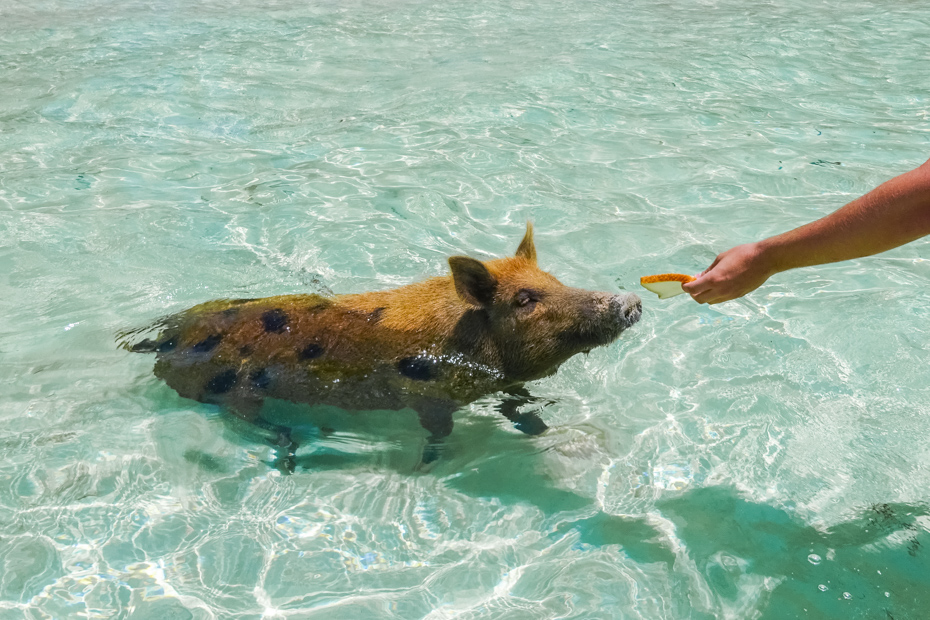 See the Bahamas swimming pigs on your Staniel Cay tour. Big Major Cay (Pig Island) is home to the Exuma pigs.