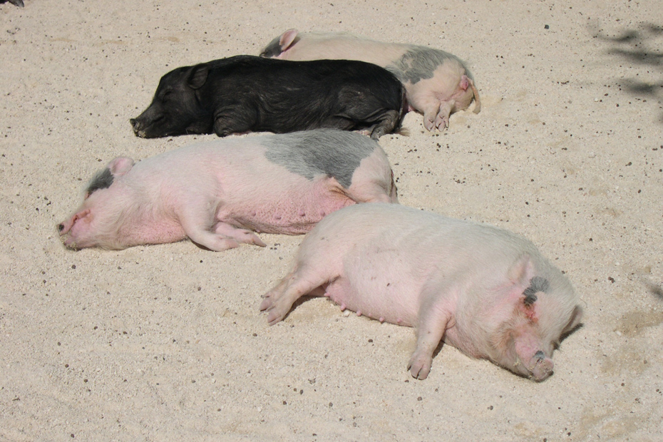A lazy day on Pig Beach in the Bahamas. A Swimming pigs tour to bahamas is a top attraction among the Exuma tourists.