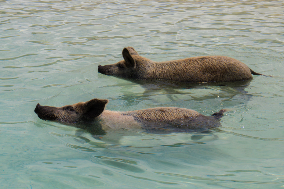 Swimming pigs Bahamas at Pig Island (Big Major Cay). Pig Beach is a part of any Bahamas day trip.