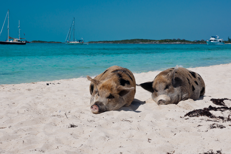 Two Exuma pigs take a beach break on Big Major Cay. A Bahamas day tour is one of the things to do in Florida on a sunny day.