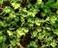 Scleranthus (Treskavica)