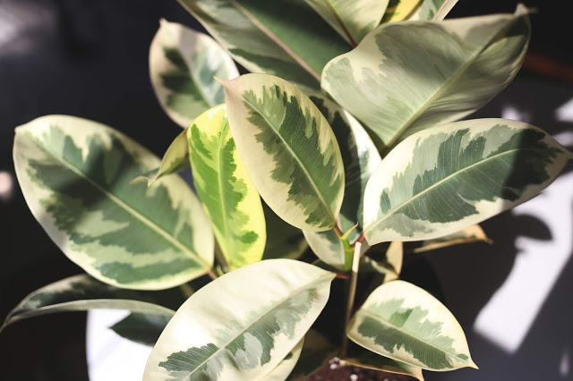 photo of variegated ficus tineke