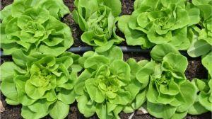 La orina puede ser un excelente fertilizante