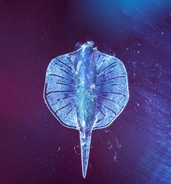 Logran crear una miniatura de pez raya realista mezclando componentes biológicos y sintéticos