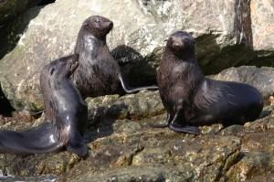 Guadalupe fur seals on the rocks at Isla San Benito.