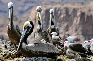 pelican.shields