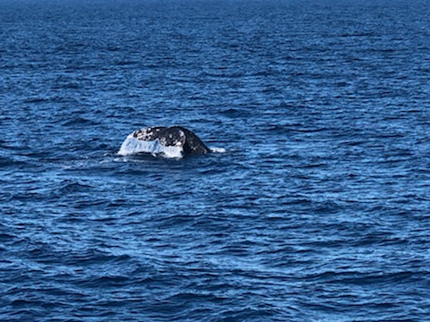 Migrating gray whale
