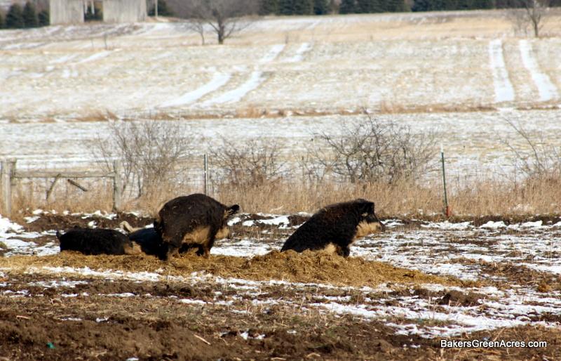 Mangalitsa boar and sow enjoying winter sun.