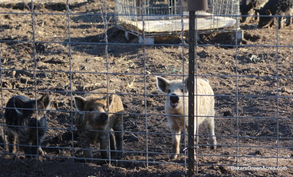 fences keep pigs in!