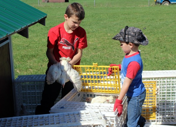 Jim and Frank putting chicks in crates to move them for pastured poultry in chicken tractors. Time
