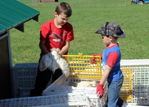 Jim and Frank putting chicks in crates to move them for pastured poultry in chicken tractors.