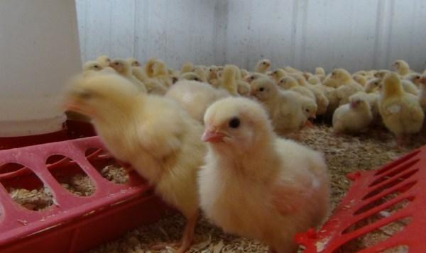 Homesteader chicks in the brooder