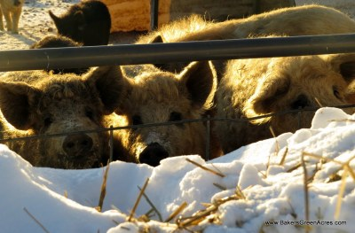 Mangalitsa pigs enjoying winter sunshine.