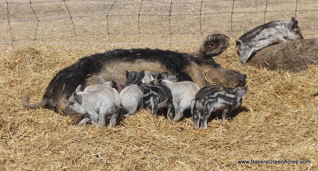 Farrowing on the Farm -Mangalitsa Pig