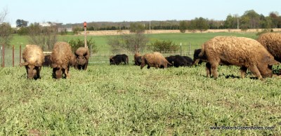 Mangalitsa hogs enjoying green grass and fresh air.
